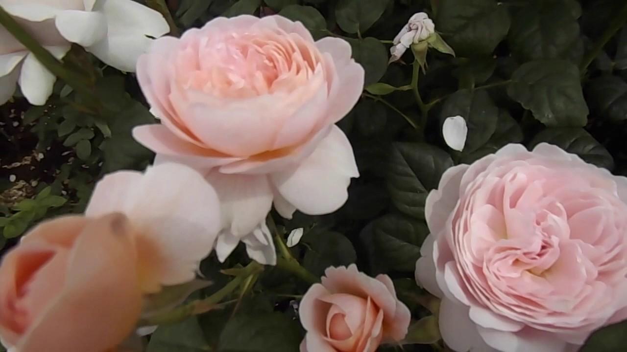 queen of sweden rose review